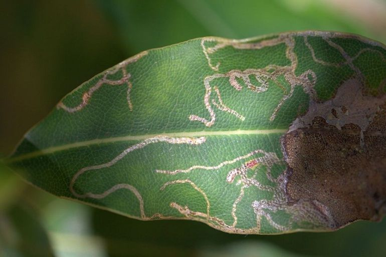 Leaf Miner - Harmful Farm Insects To Watch Out For