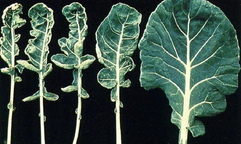Molybdenum deficiency in plants