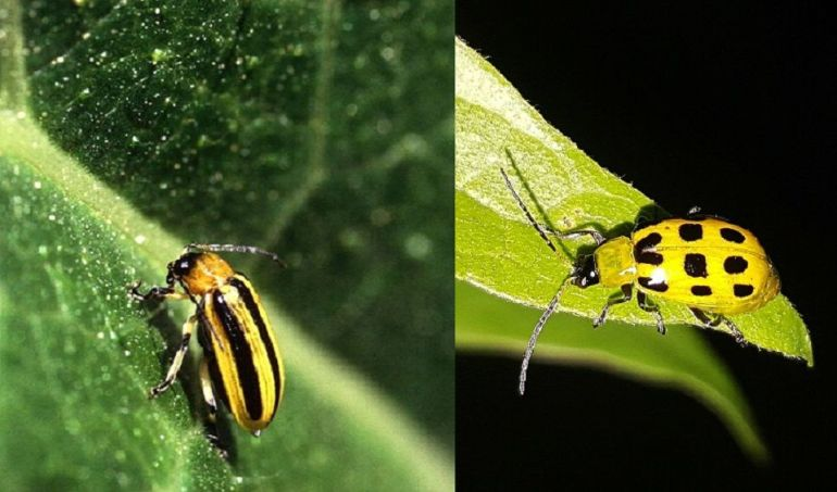 Striped Cucumber Beetle and Spotted Cucumber Beetle