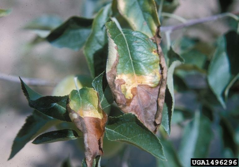 deficiency of boron in plants