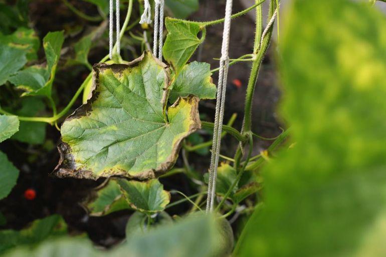 calcium deficiency in plantss