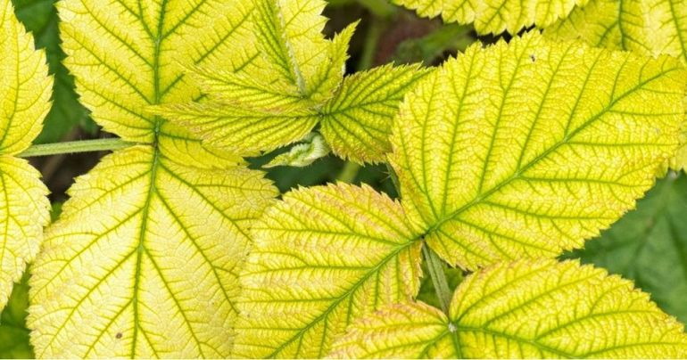 deficiency of iron in plants