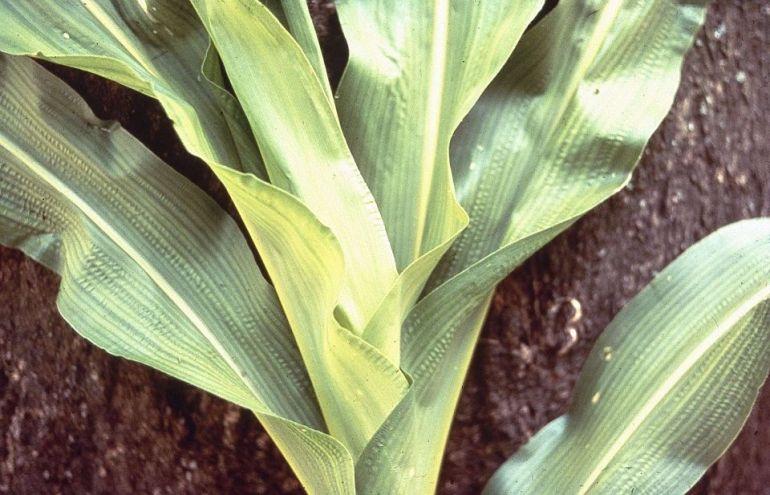 deficiency of sulfur in plants