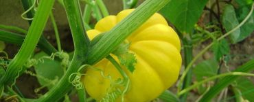 Squash Companion Plants: Good and Bad Neighbors