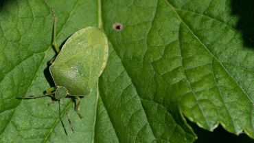 13 Natural Ways to Get Rid of Stink Bugs in Garden