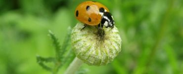 10 Benefits of Ladybirds (Coccinellidae) and How to Attract Them