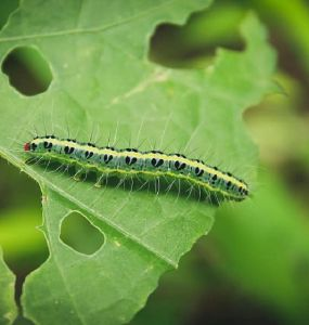 What Do Caterpillars Eat? Damage to Your Garden