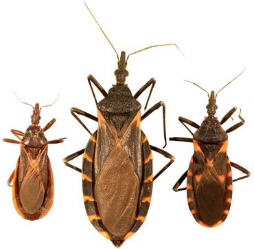 10 Natural Ways to Get Rid of Kissing Bugs (Triatominae) - Harmful Farm Insects