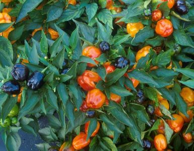 Good and Bad Companion Plants for Peppers