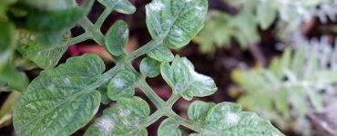 White Spots on Tomato Leaves (Causes & Natural Fix)