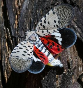 9 Natural Ways to Get Rid of Spotted Lanternflies (Lycorma delicatula)