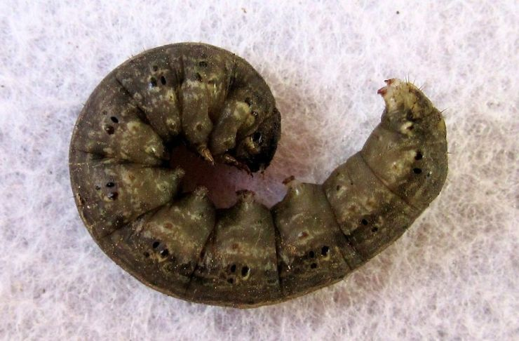 15 Natural Ways to Get Rid of Cutworms
