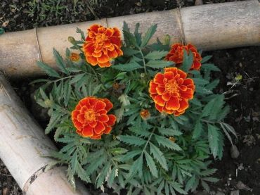 10 Marigold Garden Benefits and How to Grow