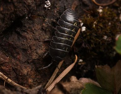 12 Natural Ways to Get Rid of Pill Bugs (Rollie Pollies)