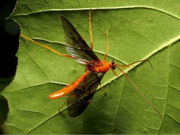 Braconid Wasps Garden Benefits & How to Attract Them