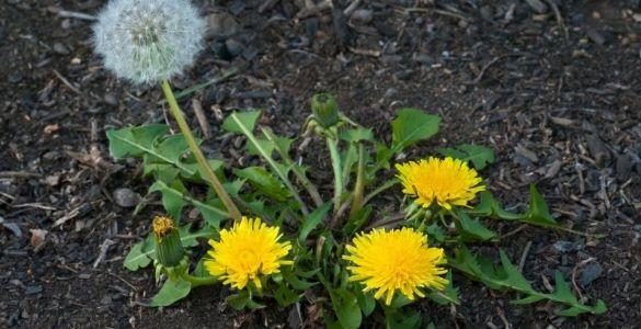 Dandelion (Taraxacum officinale) - Edible Weeds in Your Yard & Garden