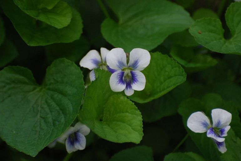 Violet (Viola sororia)