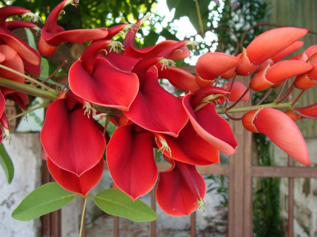 coral- tree blossoms