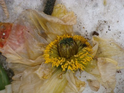 frozen poppy