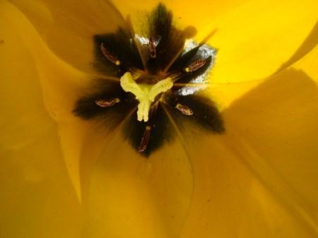 caleidoscope tulip