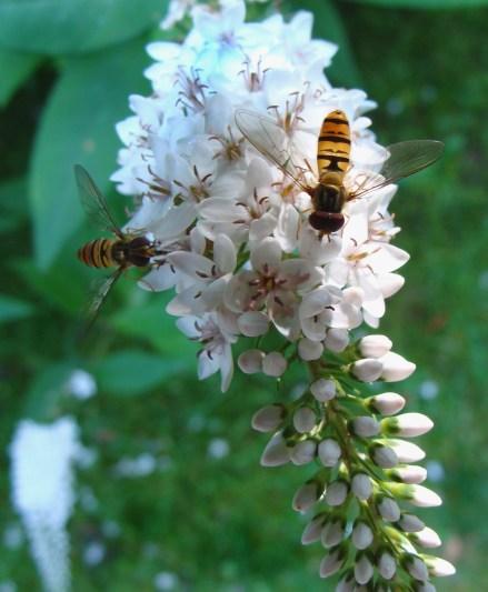 wasps on gooseneck