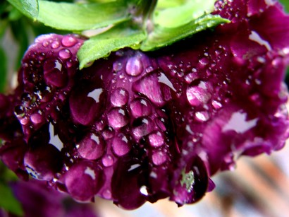 """I call this photo """"purple rain"""", honoring one of my favourite musicians """"Prince"""""""