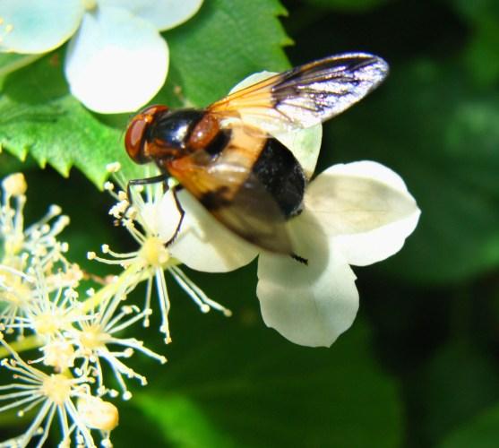 a very interesting fly on the climbing hydrangea