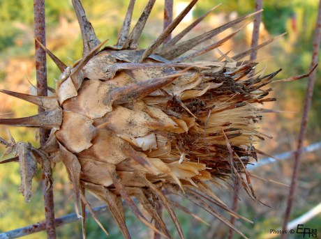 dried- out artichoke