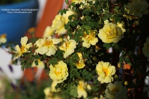 Yellow_Roses_IMG_1475