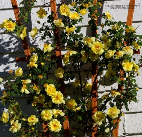 Yellow_Roses_IMG_1537