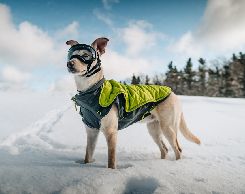 a dog stands confidently in a wintry landscape, wearing a dog coat and special dog goggles