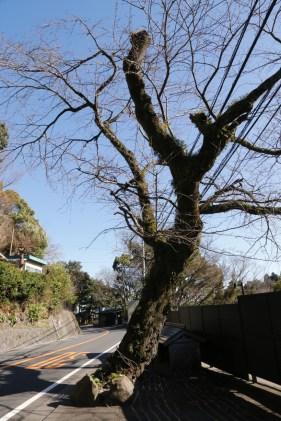 人車の通った道 この木も人車やヘッツイを見たのだろうか。