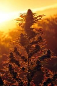Cannabis plant at sunset