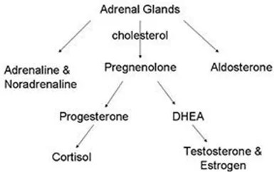 DHEA hormone pathway Dr Hagmeyer