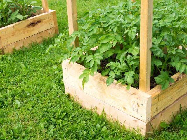 Garden Update - Potatoes