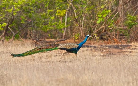 Peacock at Socorro Plateau, North Goa