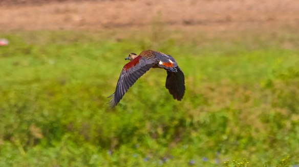 Lesser Whistling Teal, Pilerne Lake, North Goa