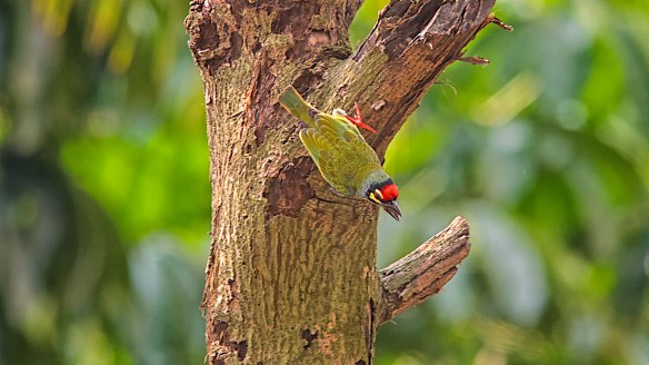 coppersmith barbet 2