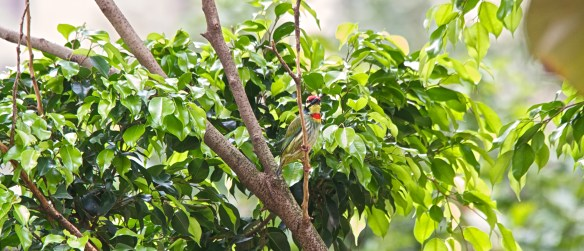 coppersmith barbet1
