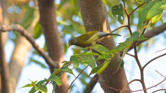 Grey Headed Bulbul