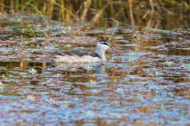 Cotton pygmy goose in a pool with pink algae