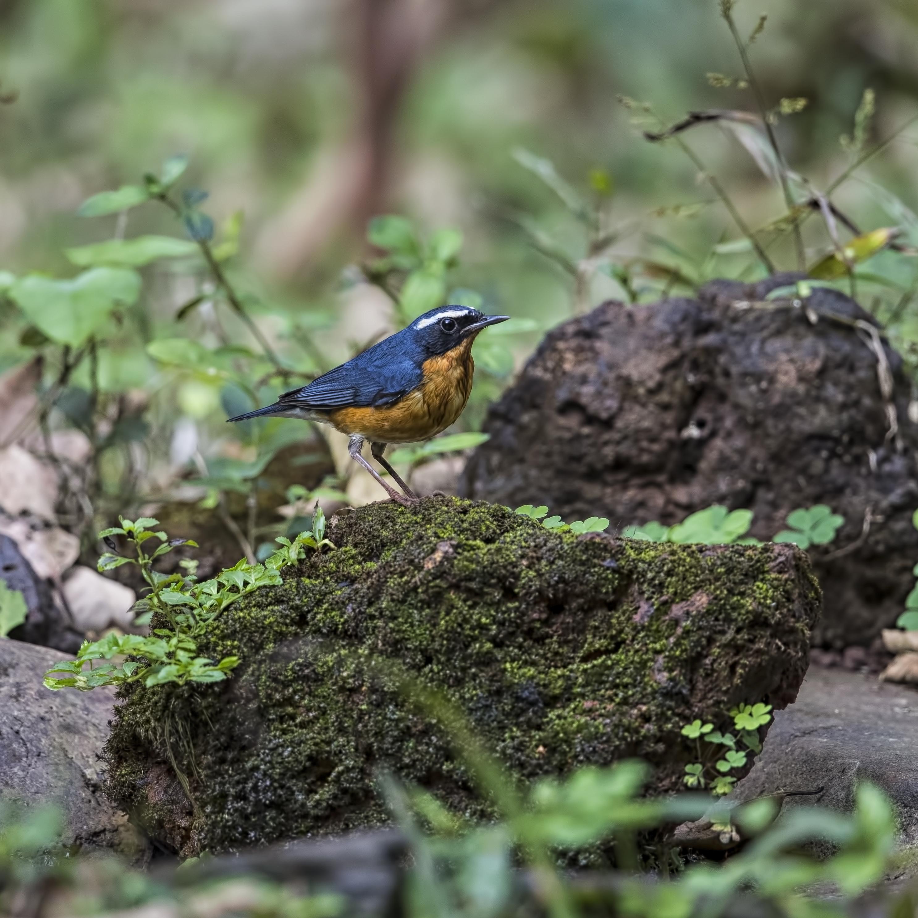 robin indian blue