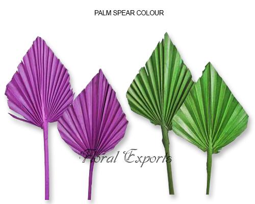 Palm Spear Colour