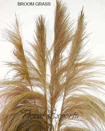 Broom Grass Natural - Tall Dried Grass Bundles Wholesale