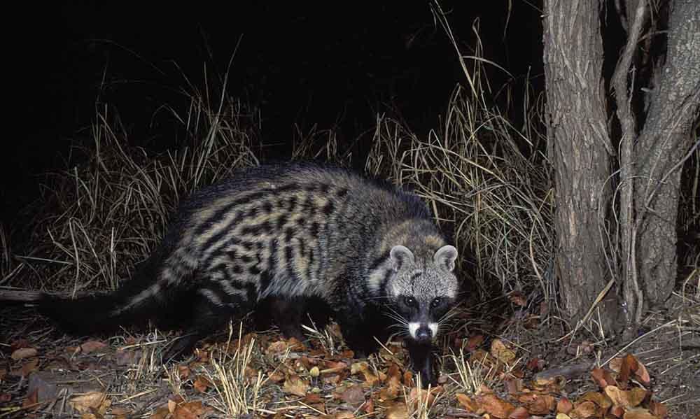 African-Civet
