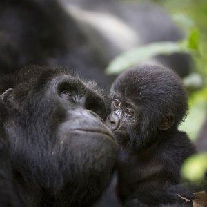 Drifters Guide Uganda Gorilla Experience Tour