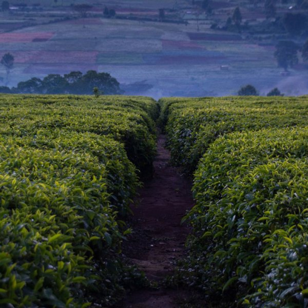 Drifters Guide Kenya Coffee Agro Experience