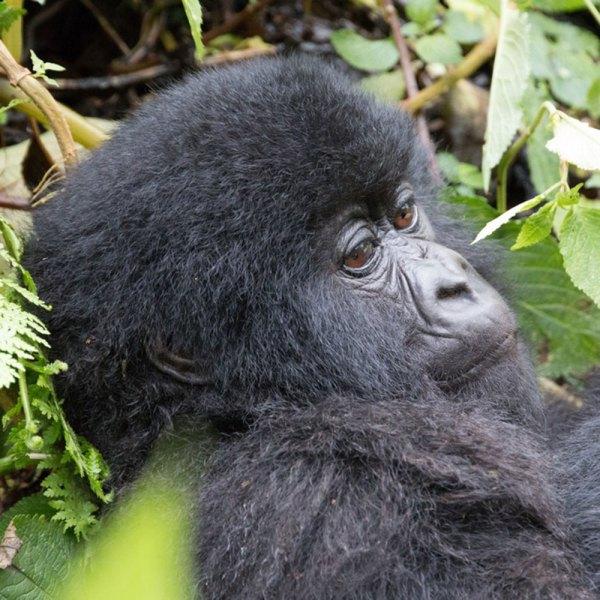 Drifters Guide Rwanda Gorilla Experience Tour