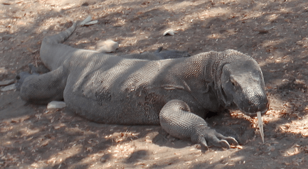 Komodo dragon 'smelling' with their eerie white forked tongues