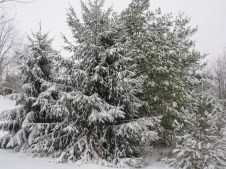 Most often when you see a conifer around here it was planted. They are still my favorite when covered in snow.